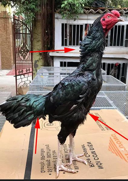 Nắm rõ thời điểm gà thay lông giúp chuẩn bị tốt thể lực và thể chất. Đảm bảo lông ra đều và dày.