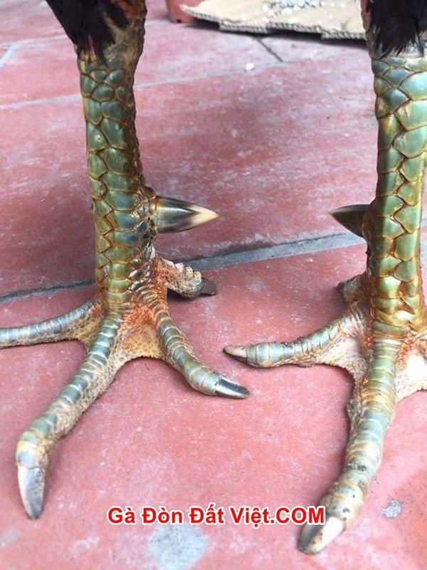 Gà ô chân xanh mắt ếch là cách xem chân gà chọi đá hay dễ nhất.