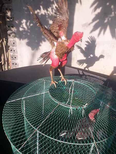 Cách vần gà thủ công cho gà nâng cao thể lực an toàn không hại gà. Cần có 1 gà phu và 1 lồng chạy gà như hình