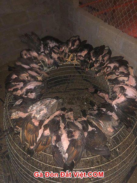 Lọc gà chọi tơ theo sức khỏe. Con nào dị tật thì loại bỏ, ốm yếu cũng loại bỏ