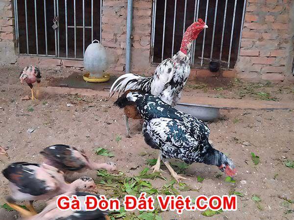Nuôi chung với gà mái khiến gà chọi trống sung hơn.