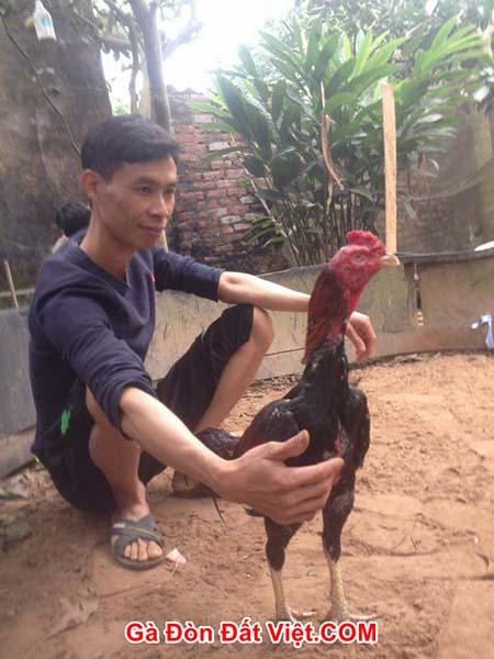 Cách làm gà chọi sung sức khoẻ mạnh máu chiến với đối thủ xứng tầm. 2 đối thủ đang nhìn nhau
