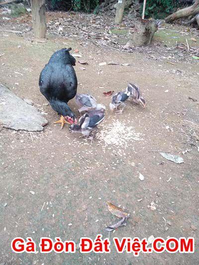 Cách nuôi gà chọi con nhanh lớn