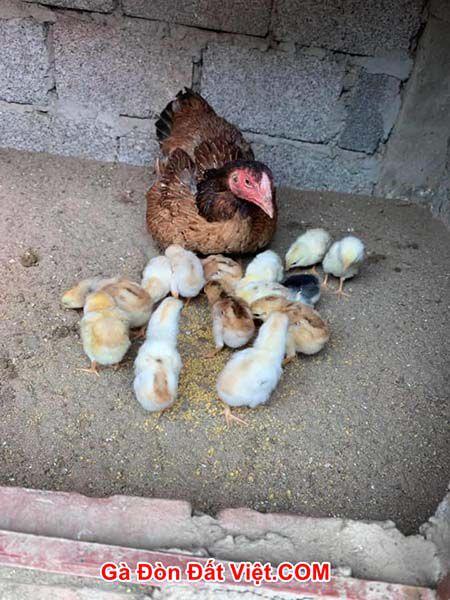 Chữa gà con úm bị khô chân