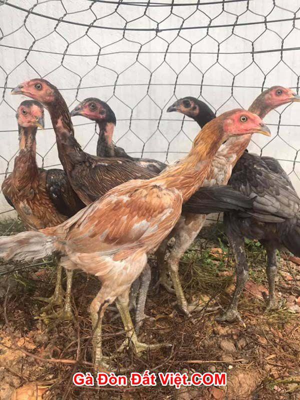 Cách nuôi gà chọi con từ 4-6 tháng tuổi
