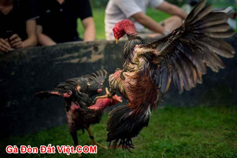 Muốn gà chọi tơ chóng lớn, máu chiến thì cần biết cách vần hơi vần đòn cho gà.