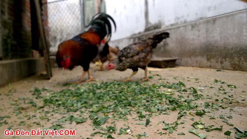 Bổ xung cho gà đá bo lớn bằng rau xanh tăng cường chất xơ
