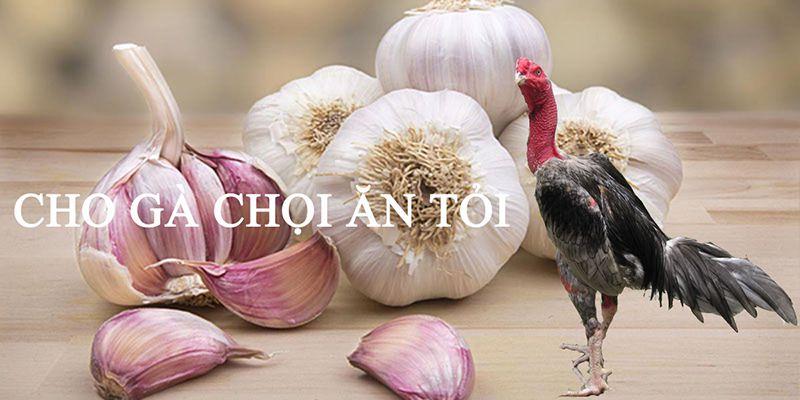 Cho gà ăn tỏi có thể tránh được gà ăn không tiêu chướng diều