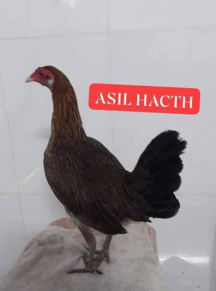 Gà Asil Hatch mái