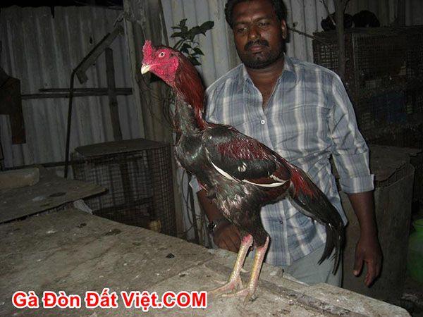 Đặc điểm dòng gà chọi Asil thuần chủng từ Ấn Độ