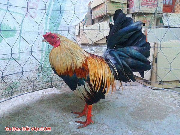 Gà Jap thầy Khùng là dòng gà nổi tiếng. 1 cá thể gà tre jap Mỹ màu chuối