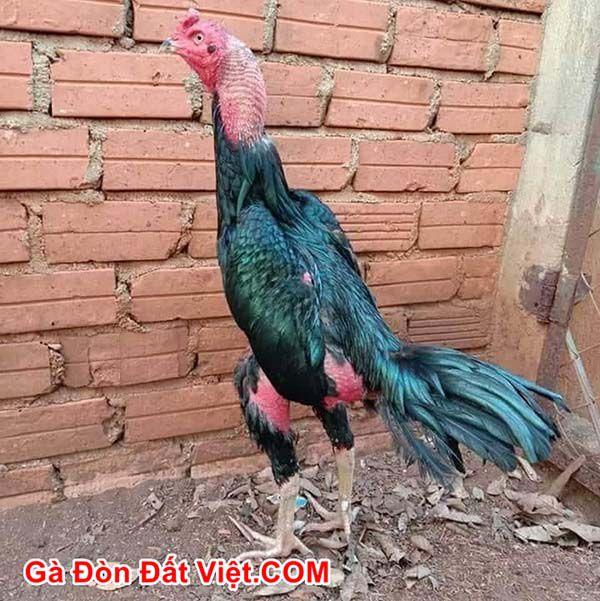 Một con gà ô ướt và đang là gà tơ. Có thể tạo ra gà đá hay.
