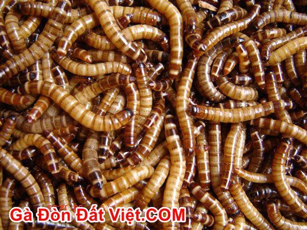 Cho gà ăn gì lông mượt ư? Sâu worm rất rẻ chỉ từ 10-20k tha hồ ăn.