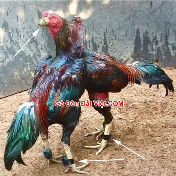 Gà vần hơi quá nhiều dẫn tới gà ăn nhiều nhưng vẫn gầy do lượng năng lượng nạp vào ít hơn năng lượng hao phí