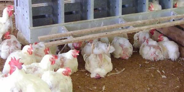 Bệnh tụ huyết trùng gà hay còn gọi là bệnh gà toi, toi gà ở nước ta.