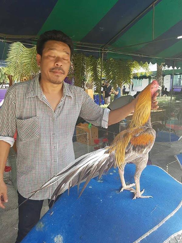 Gà đá Thái Lan khi tham dự hội thi gà cảnh. Lông lá gà được chăm chút khá kỹ càng.