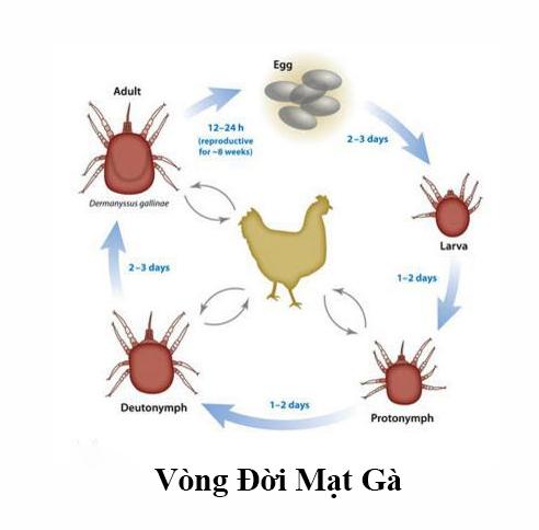 Vòng đời của con bọ mạt gà.