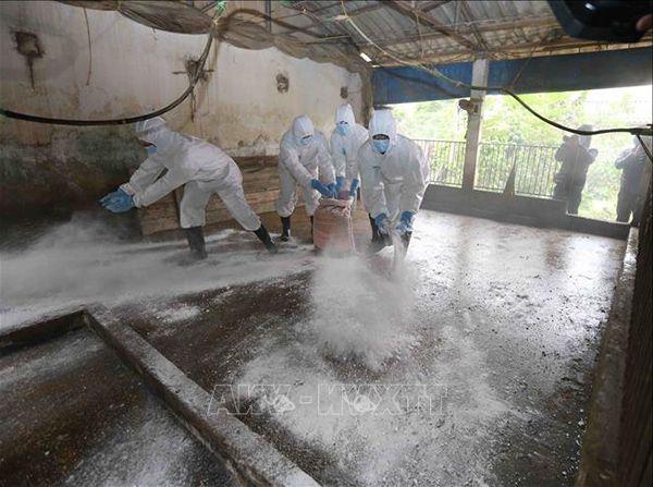 Rắc vôi bột khử trùng chuồng gà để phòng tránh mạt gà.