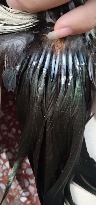 Bó đuôi càng dày càng to chứng tỏ gà tre Tân Châu đẹp.