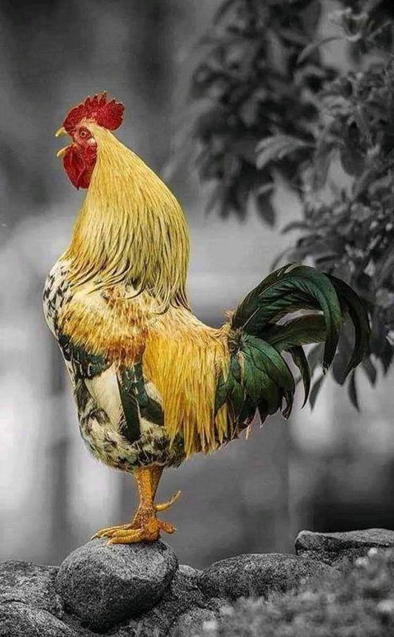 Chân cẳng cánh gà tre đá cựa sắt càng khỏe thì khả năng dành chiến thắng càng cao.