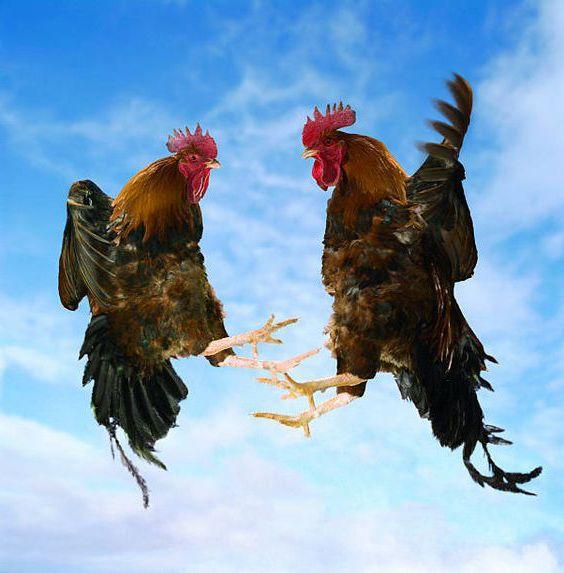 Cách tập luyện gà tre đá cựa sắt giúp gà tre khỏe hơn.