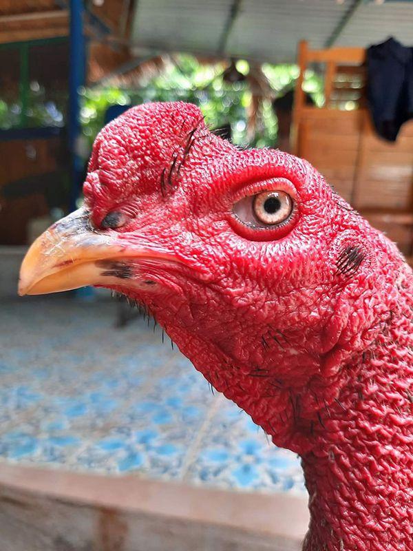 Cách xem mắt gà chọi có thực sự quan trọng để dễ dàng nhận ra được gà đá hay hay không?