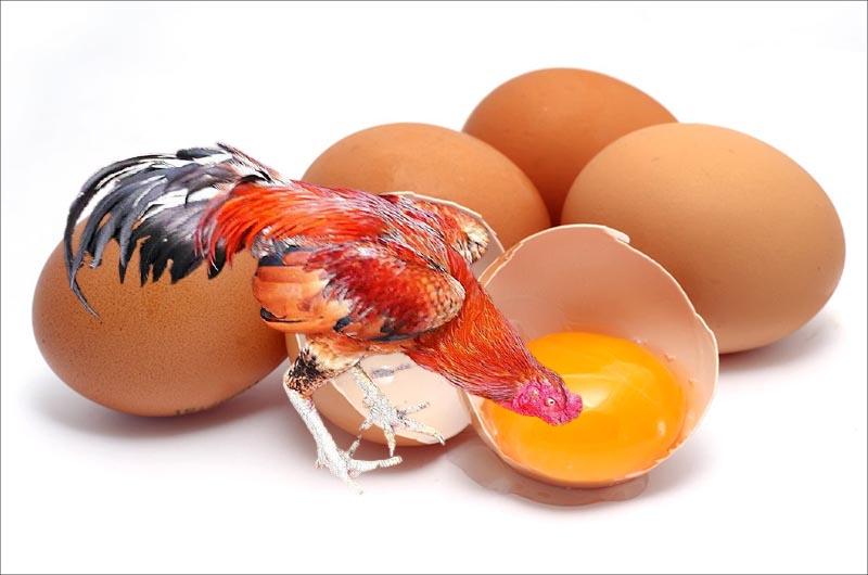 Cho gà chọi ăn lòng đỏ trứng có tác dụng gì nhỉ?