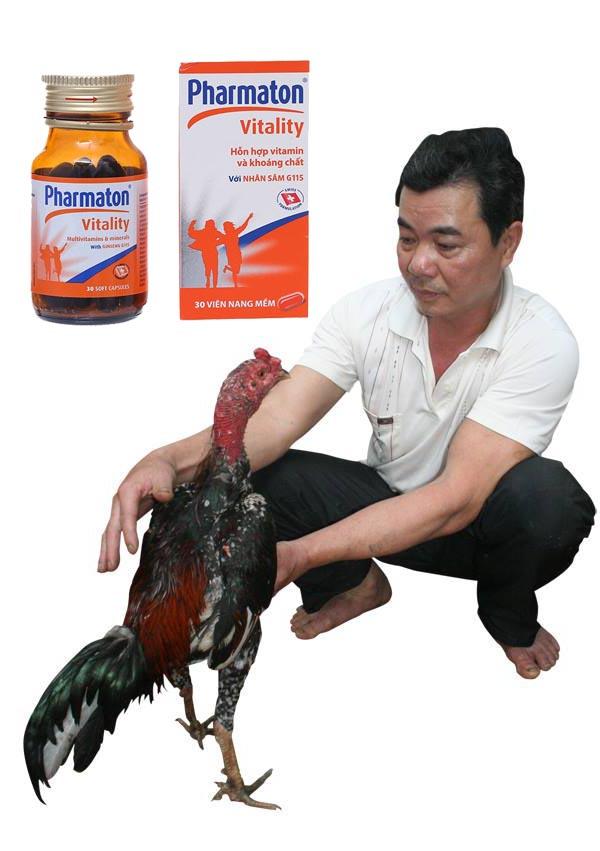 Cho gà uống Pharmaton trước khi đá nên hay không?